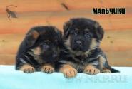 19_Puppies_Bacio_Bakkara_BOYS