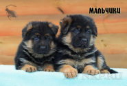 20_Puppies_Bacio_Bakkara_BOYS
