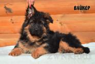 21_Puppies_Bacio_Bakkara_VAJKER