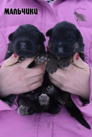 06_Puppies_Umaro_Chernika_BOYS