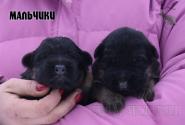 09_Puppies_Umaro_Chernika_BOYS