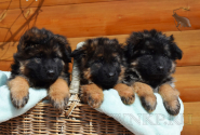 11_Puppies_Umaro_Chernika_BG