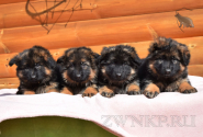 12_Puppies_Umaro_Chernika_BG