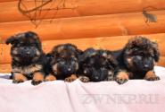 13_Puppies_Umaro_Chernika_BG