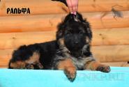 16_Puppies_Umaro_Chernika_RALFA