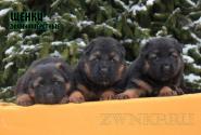 16_Puppies_ZerGut_Shtuchka_BOYS_GIRL