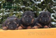 17_Puppies_ZerGut_Shtuchka_BOYS_GIRL
