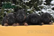 18_Puppies_ZerGut_Shtuchka_BOYS_GIRL