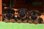 03_Puppies_Garry_Mishel_GIRLS