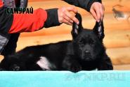 06_Puppies_Uragan_Barselona_SAMURAJ