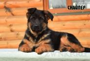 ПЕР10_Puppies_Uragan_Barselona_SNAJPER