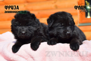 11_Puppies_Uragan_Viagra_FLIK_FRIZA_LH