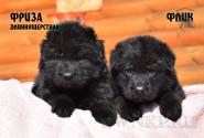 12_Puppies_Uragan_Viagra_FLIK_FRIZA_LH