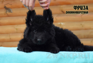 13_Puppies_Uragan_Viagra_FRIZA_LH