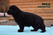 14_Puppies_Uragan_Viagra_FRIZA_LH