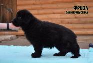 14_Puppies_Uragan_Viagra_FRIZA_LH
