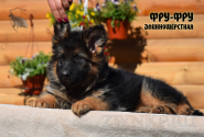 15_Puppies_Uragan_Viagra_FRU-FRU_LH