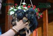 02_Puppies_Uragan_Broshka_BOY_LH_GIRL