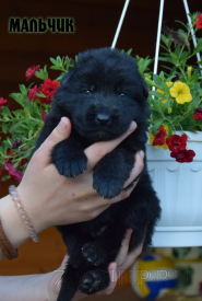 05_Puppies_Uragan_Broshka_BOY_B