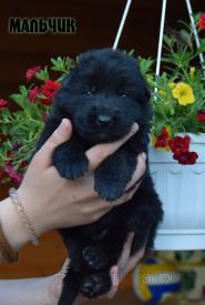 05_Puppies_Uragan_Broshka_BOY_B
