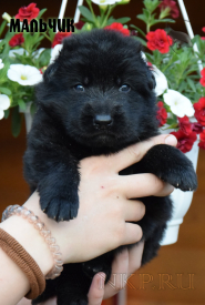 06_Puppies_Uragan_Broshka_BOY_B