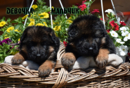 09_Puppies_Uragan_Broshka_GIRL_BOY