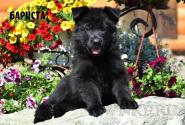 10_Puppies_JV_Panda_BARISTA_BL