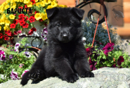 11_Puppies_JV_Panda_BARISTA_BL