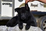 14_Puppies_JV_Panda_BRENDA_BL