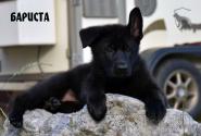 16_Puppies_JV_Panda_BARISTA_BL