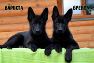 17_Puppies_JV_Panda_BARISTA_BRENDA_BL