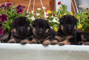 03_Puppies_Billy_Lanesta_BOYS_GIRLS