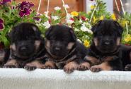 04_Puppies_Billy_Lanesta_BOYS_GIRLS