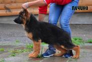 35_Puppies_Garry_Imidzha_PACHINO