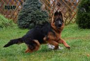 45_Puppies_Garry_Imidzha_PIAF