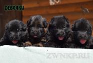 08_Puppies_Yamaguchi_Avantura_GIRLS_BBr