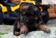 18_Puppies_Yamaguchi_Avantura_GIRL_BBr