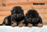 18_Puppies_Uragan_Yolka3_BOYS