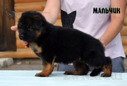 19_Puppies_Uragan_Yolka3_BOY