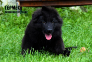 22_Puppies_Uragan_Yolka3_GERMES_BL_LH