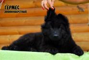 24_Puppies_Uragan_Yolka3_GERMES_BL_LH