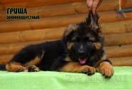 25_Puppies_Uragan_Yolka3_GRISHA_LH