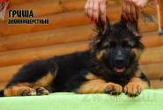 27_Puppies_Uragan_Yolka3_GRISHA_LH