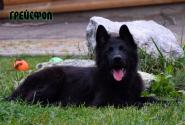 28_Puppies_Uragan_Yolka3_GREJSFOL_BL