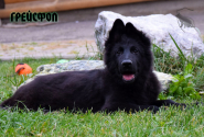 30_Puppies_Uragan_Yolka3_GREJSFOL_BL