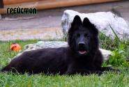 31_Puppies_Uragan_Yolka3_GREJSFOL_BL