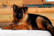 32_Puppies_Uragan_Yolka3_GRISHA_LH
