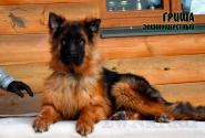 33_Puppies_Uragan_Yolka3_GRISHA_LH