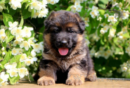 03_Puppies_Yamaguchi_Kassiopeya_GIRL