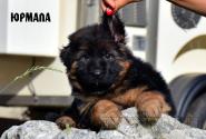 08_Puppies_Yamaguchi_Kassiopeya_YURMALA